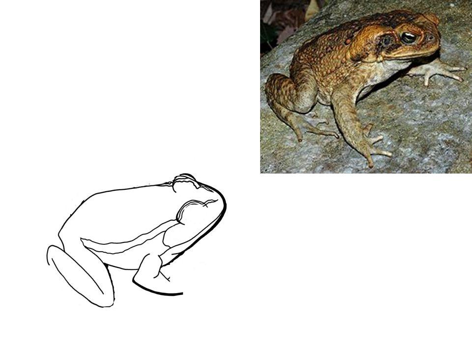 BEZOCASÍ (žáby) - zástupci