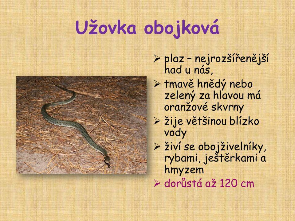 Užovka obojková  plaz – nejrozšířenější had u nás,  tmavě hnědý nebo zelený za hlavou má oranžové skvrny  žije většinou blízko vody  živí se obojž