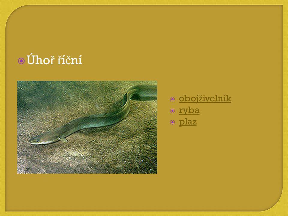  obojživelník obojživelník  ryba ryba  plaz plaz  Úho ř ř í č ní