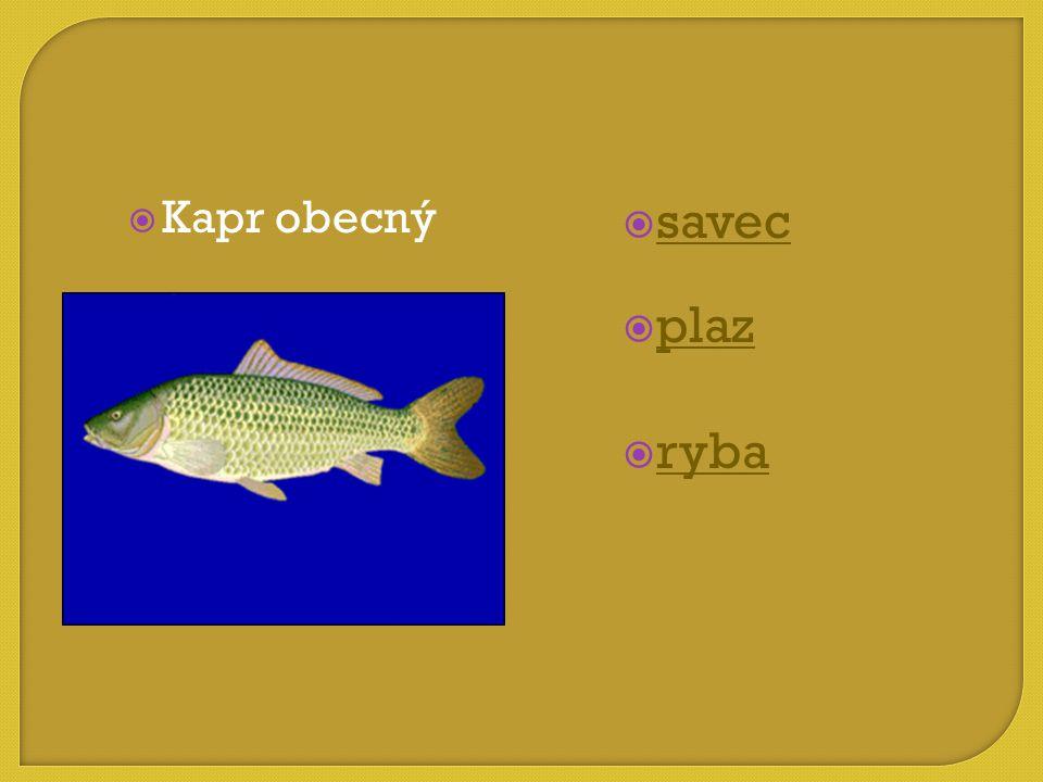  savec savec  plaz plaz  ryba ryba  Kapr obecný