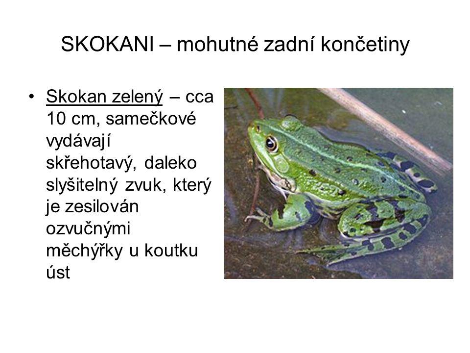 SKOKANI – mohutné zadní končetiny Skokan zelený – cca 10 cm, samečkové vydávají skřehotavý, daleko slyšitelný zvuk, který je zesilován ozvučnými měchý