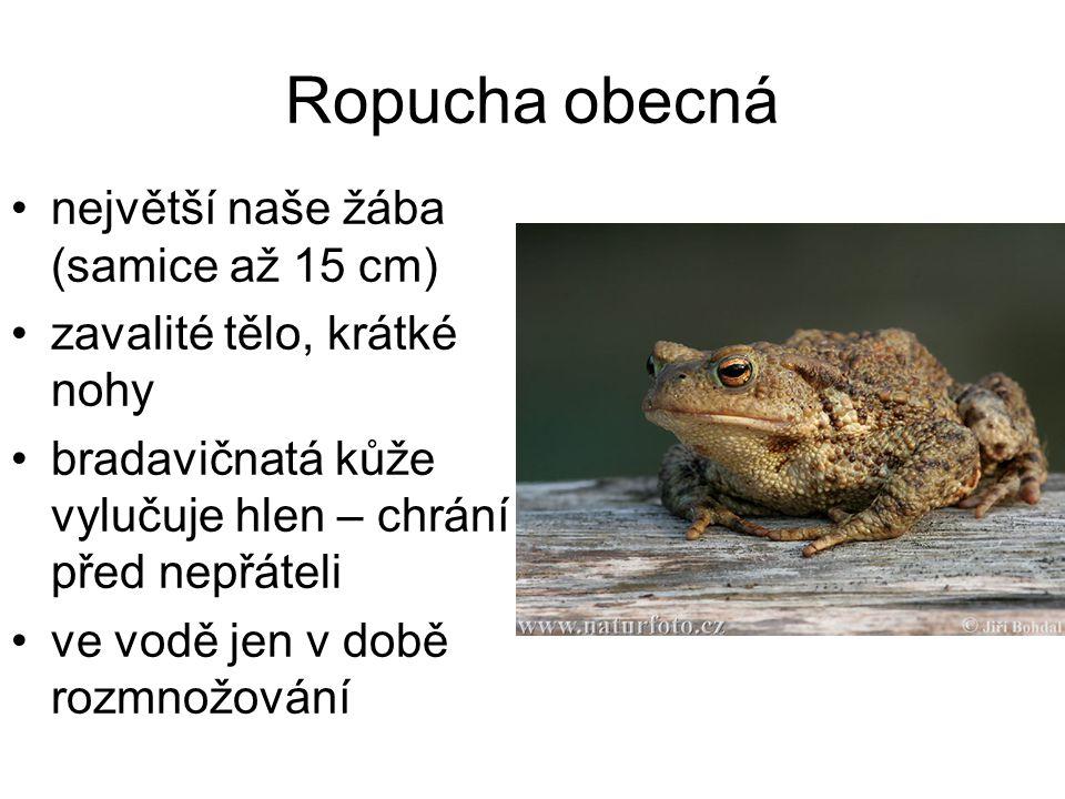 Ropucha obecná největší naše žába (samice až 15 cm) zavalité tělo, krátké nohy bradavičnatá kůže vylučuje hlen – chrání ji před nepřáteli ve vodě jen