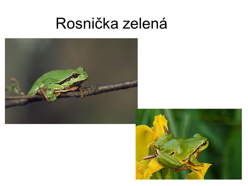 Rosnička zelená