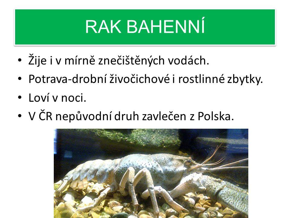 RAK BAHENNÍ Žije i v mírně znečištěných vodách.Potrava-drobní živočichové i rostlinné zbytky.