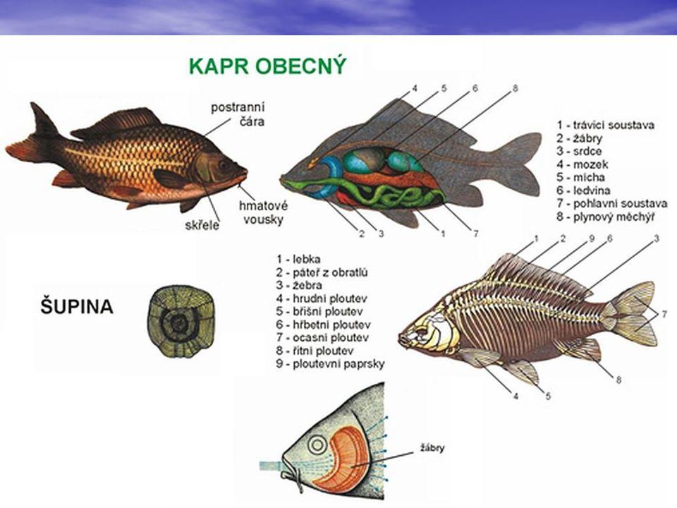 VŠEŽRAVÉ NEDRAVÉ RYBY Žijí převážně v rybnících a řekách v nižších polohách, Žijí převážně v rybnících a řekách v nižších polohách, kde je proud pomalejší a teplota vyšší.