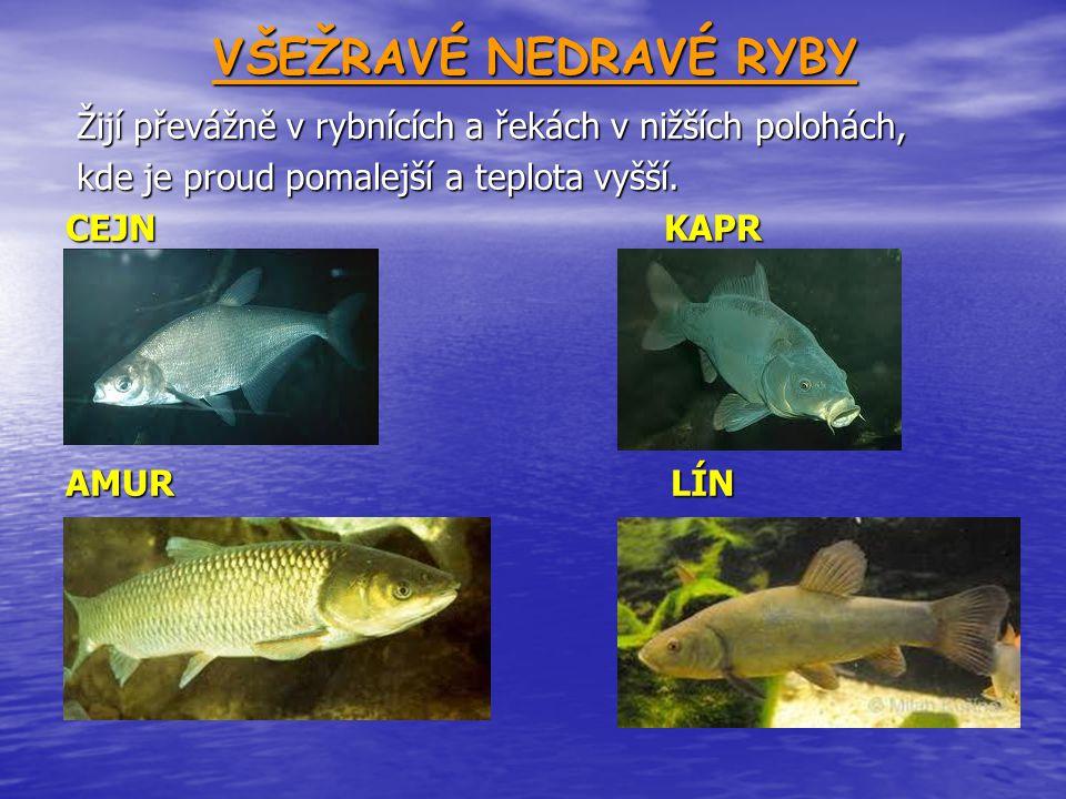 VŠEŽRAVÉ NEDRAVÉ RYBY Žijí převážně v rybnících a řekách v nižších polohách, Žijí převážně v rybnících a řekách v nižších polohách, kde je proud pomal