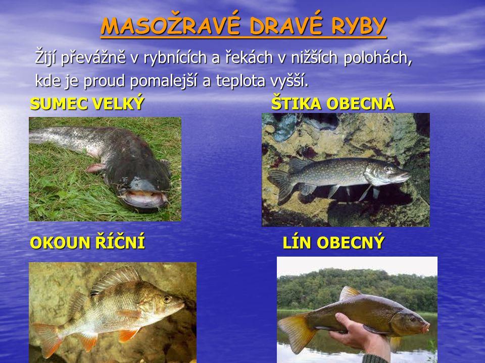 MASOŽRAVÉ DRAVÉ RYBY Žijí převážně v rybnících a řekách v nižších polohách, Žijí převážně v rybnících a řekách v nižších polohách, kde je proud pomalejší a teplota vyšší.