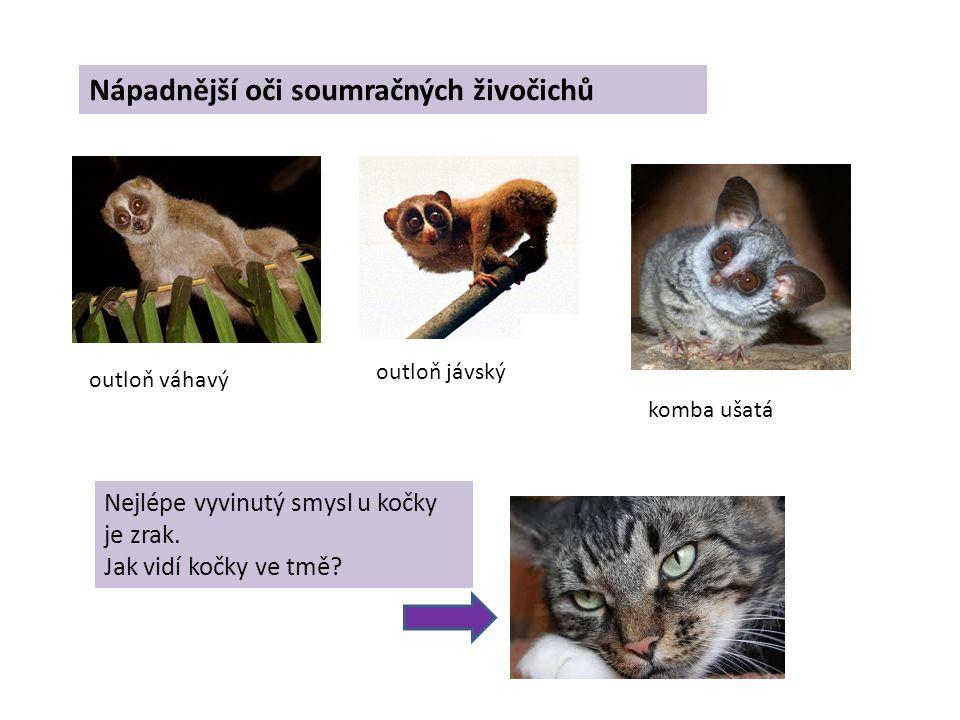 Nápadnější oči soumračných živočichů outloň váhavý outloň jávský komba ušatá Nejlépe vyvinutý smysl u kočky je zrak.