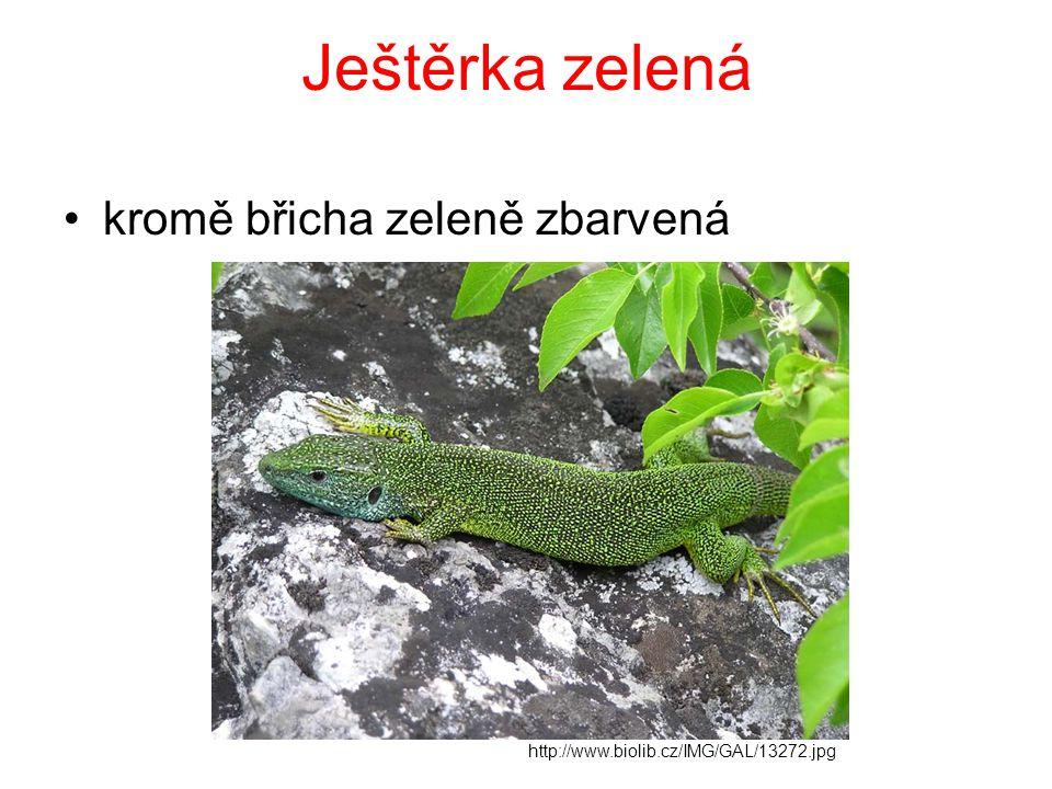 Ještěrka zelená kromě břicha zeleně zbarvená http://www.biolib.cz/IMG/GAL/13272.jpg