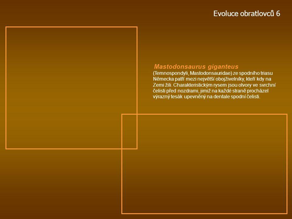 Evoluce obratlovců 6 Ventastega curonica primitivní tetrapod ze svrchního devonu Litvy. Celková délka lebky 18 cm. Crassigyrinus scoticus primitivní o