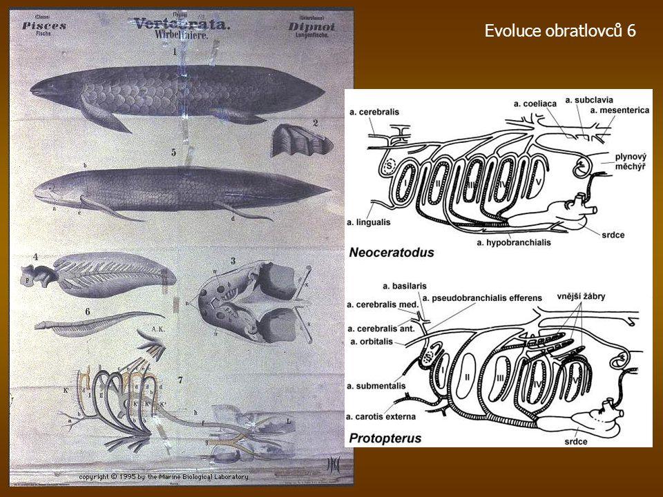 Panderichthys pozdní devon -360 milionů let Pobaltí