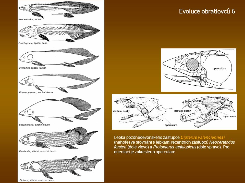 Evoluce obratlovců 6 Lebka pozdnědevonského zástupce Dipterus valenciennesi (nahoře) ve srovnání s lebkami recentních zástupců Neoceratodus forsteri (dole vlevo) a Protopterus aethiopicus (dole vpravo).