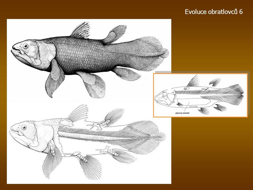 Evoluce obratlovců 6 Lebka pozdnědevonského zástupce Dipterus valenciennesi (nahoře) ve srovnání s lebkami recentních zástupců Neoceratodus forsteri (
