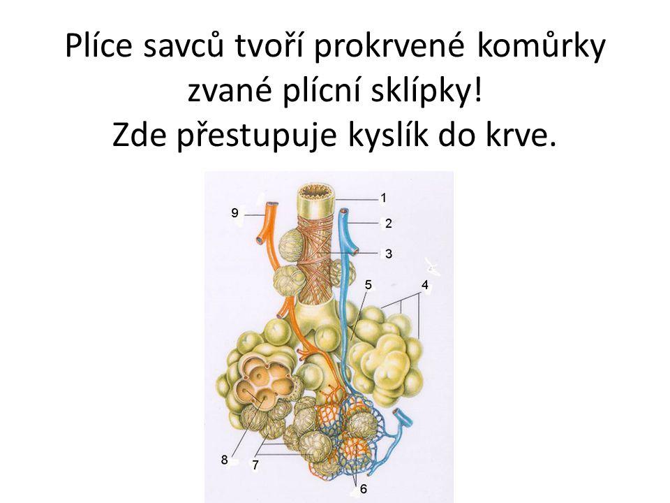 Plíce savců tvoří prokrvené komůrky zvané plícní sklípky! Zde přestupuje kyslík do krve.