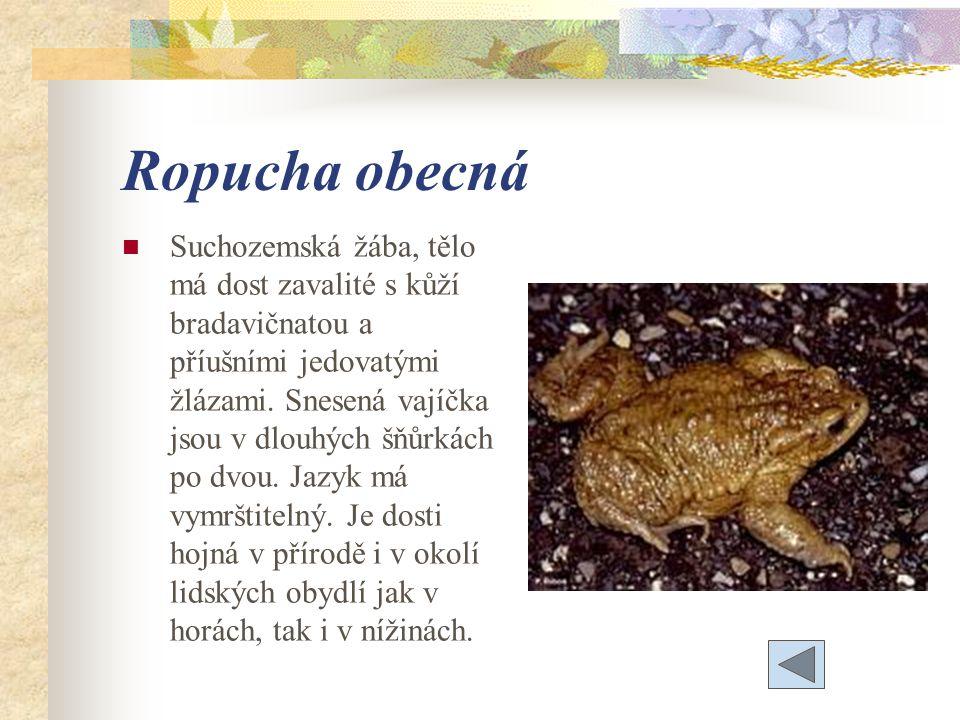 Ropucha obecná Suchozemská žába, tělo má dost zavalité s kůží bradavičnatou a příušními jedovatými žlázami.