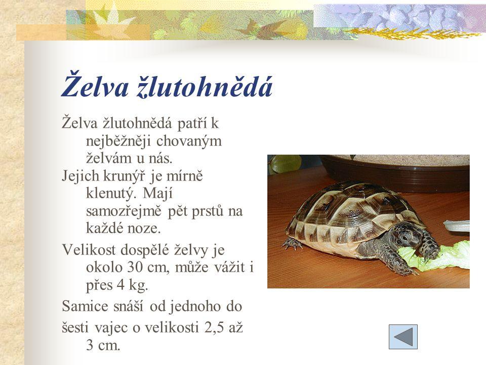 Želva žlutohnědá Želva žlutohnědá patří k nejběžněji chovaným želvám u nás.