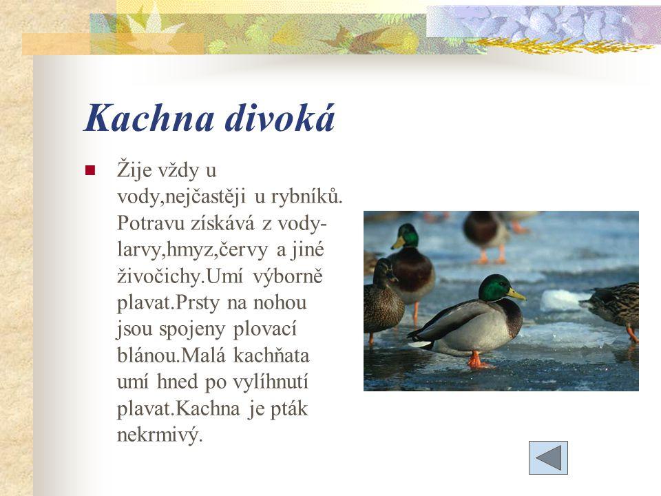 Kachna divoká Žije vždy u vody,nejčastěji u rybníků.