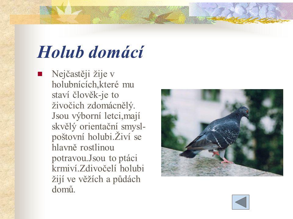 Holub domácí Nejčastěji žije v holubnících,které mu staví člověk-je to živočich zdomácnělý.