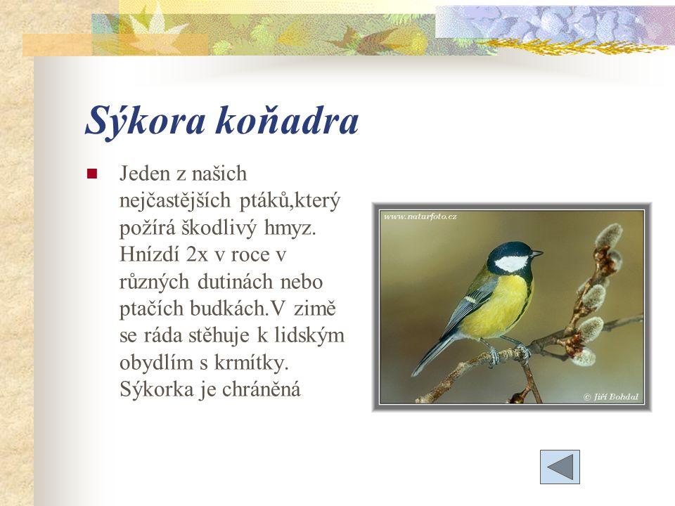 Sýkora koňadra Jeden z našich nejčastějších ptáků,který požírá škodlivý hmyz.