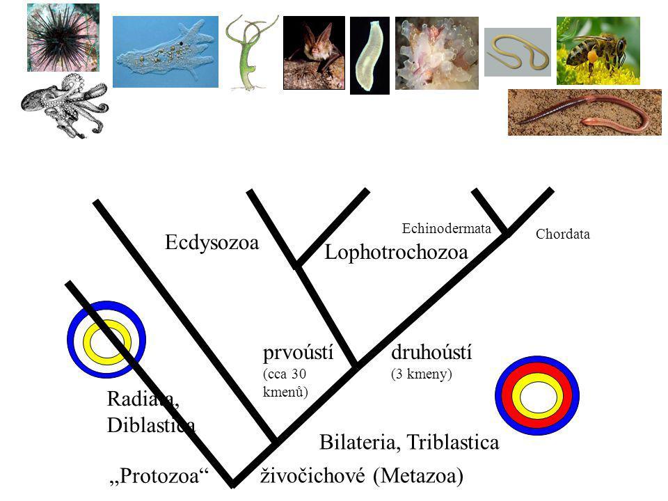 "Radiata, Diblastica Bilateria, Triblastica prvoústí (cca 30 kmenů) druhoústí (3 kmeny) Ecdysozoa Lophotrochozoa Echinodermata Chordata živočichové (Metazoa) ""Protozoa"