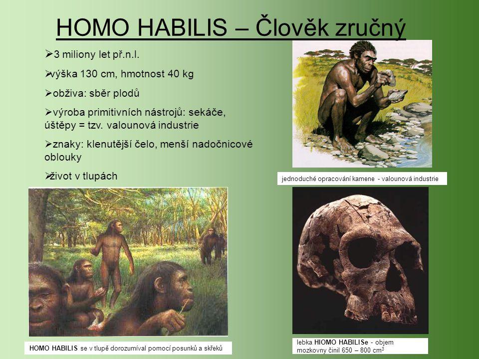 HOMO HABILIS – Člověk zručný  3 3 miliony let př.n.l. vvýška 130 cm, hmotnost 40 kg  obživa: sběr plodů  výroba primitivních nástrojů: sekáče, ú