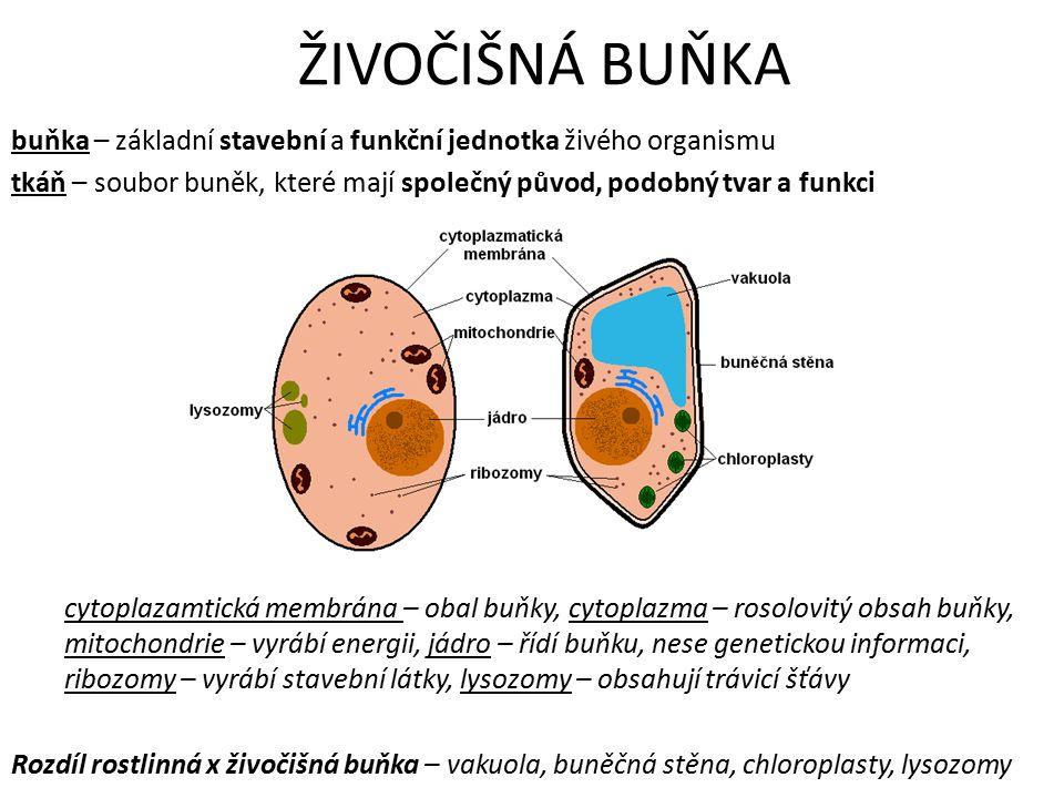 ŽIVOČIŠNÁ BUŇKA buňka – základní stavební a funkční jednotka živého organismu tkáň – soubor buněk, které mají společný původ, podobný tvar a funkci cytoplazamtická membrána – obal buňky, cytoplazma – rosolovitý obsah buňky, mitochondrie – vyrábí energii, jádro – řídí buňku, nese genetickou informaci, ribozomy – vyrábí stavební látky, lysozomy – obsahují trávicí šťávy Rozdíl rostlinná x živočišná buňka – vakuola, buněčná stěna, chloroplasty, lysozomy