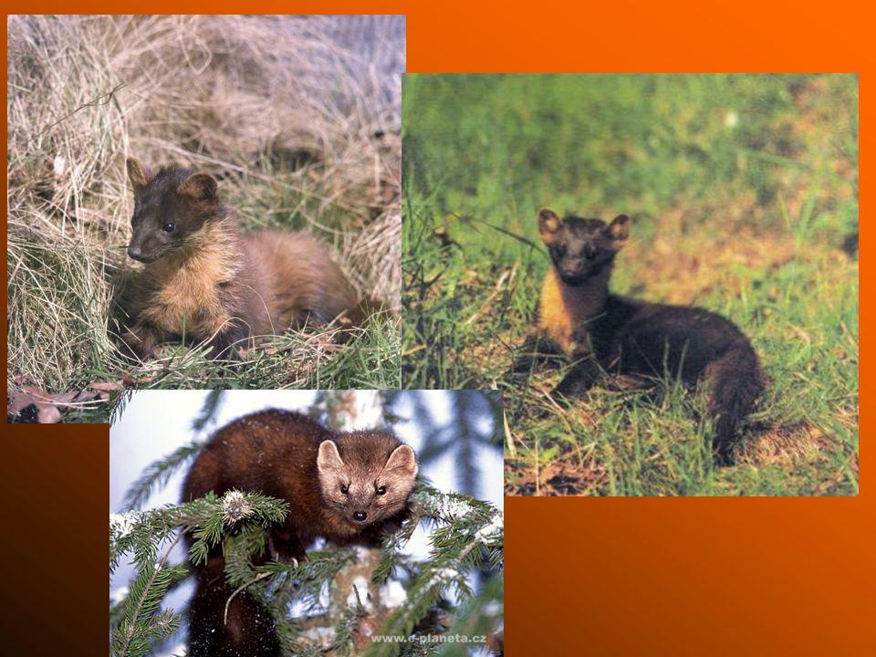 Tchoř tmavý je o něco menší než kuna skalní je o něco menší než kuna skalní živí se myšmi, křečky a žábami, loví především v noci živí se myšmi, křečky a žábami, loví především v noci v létě žije v lesích, polích, pod kamením a v opuštěných norách, v zimě se přemisťuje do blízkosti lidských obydlí v létě žije v lesích, polích, pod kamením a v opuštěných norách, v zimě se přemisťuje do blízkosti lidských obydlí proti predátorům se chrání pronikavě páchnoucí tekutinou, kterou vylučuje ze žláz umístěných pod kořenem ocasu proti predátorům se chrání pronikavě páchnoucí tekutinou, kterou vylučuje ze žláz umístěných pod kořenem ocasu tuto tekutinu používá také ke značkování území, které obývá tuto tekutinu používá také ke značkování území, které obývá velice dobrý plavec, dobře šplhá velice dobrý plavec, dobře šplhá