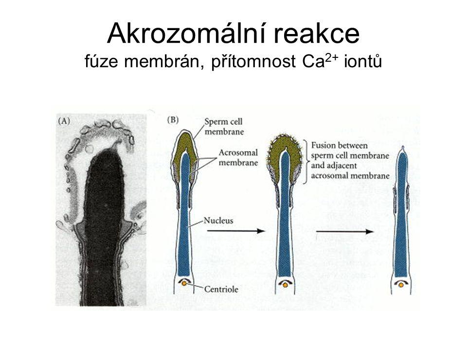 Akrozomální reakce fúze membrán, přítomnost Ca 2+ iontů