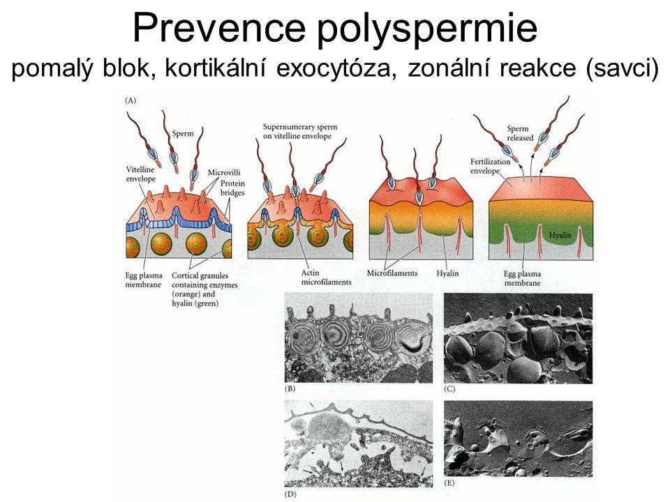 Prevence polyspermie pomalý blok, kortikální exocytóza, zonální reakce (savci)