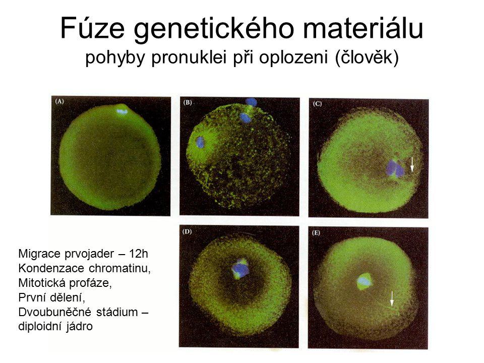 Fúze genetického materiálu pohyby pronuklei při oplozeni (člověk) Migrace prvojader – 12h Kondenzace chromatinu, Mitotická profáze, První dělení, Dvou
