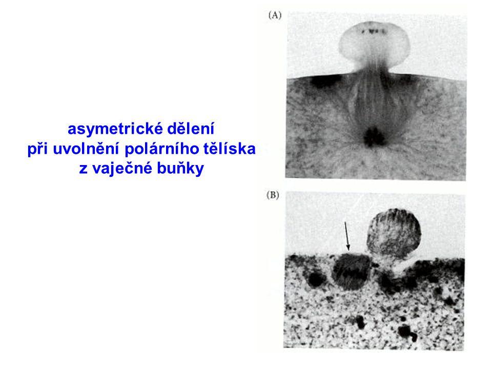 asymetrické dělení při uvolnění polárního tělíska z vaječné buňky