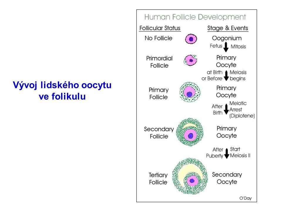 Vývoj lidského oocytu ve folikulu