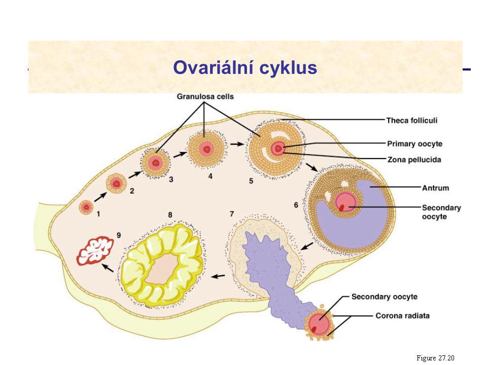 Ovariální cyklus