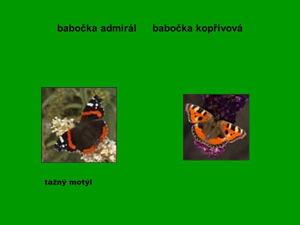babočka admirál babočka kopřivová tažný motýl