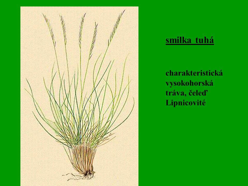 smilka tuhá charakteristická vysokohorská tráva, čeleď Lipnicovité