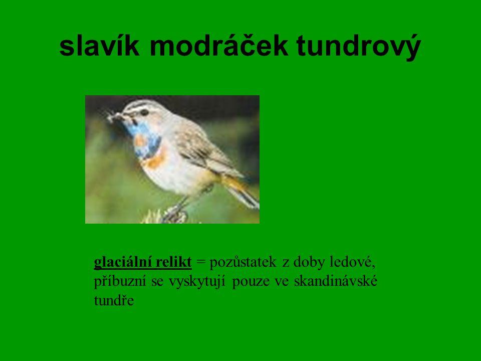 slavík modráček tundrový glaciální relikt = pozůstatek z doby ledové, příbuzní se vyskytují pouze ve skandinávské tundře