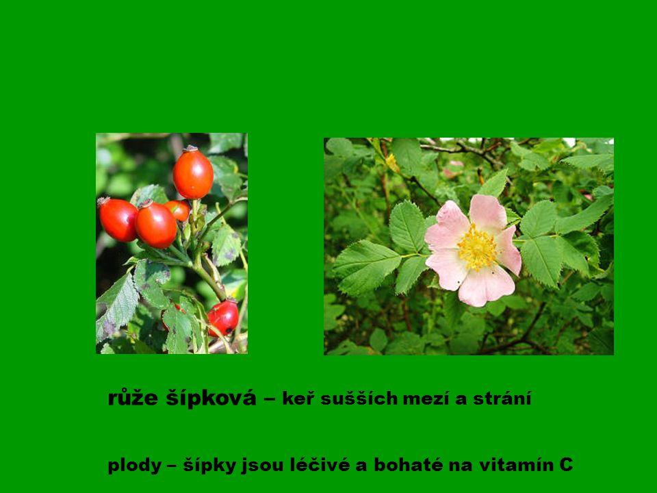 růže šípková – keř sušších mezí a strání plody – šípky jsou léčivé a bohaté na vitamín C