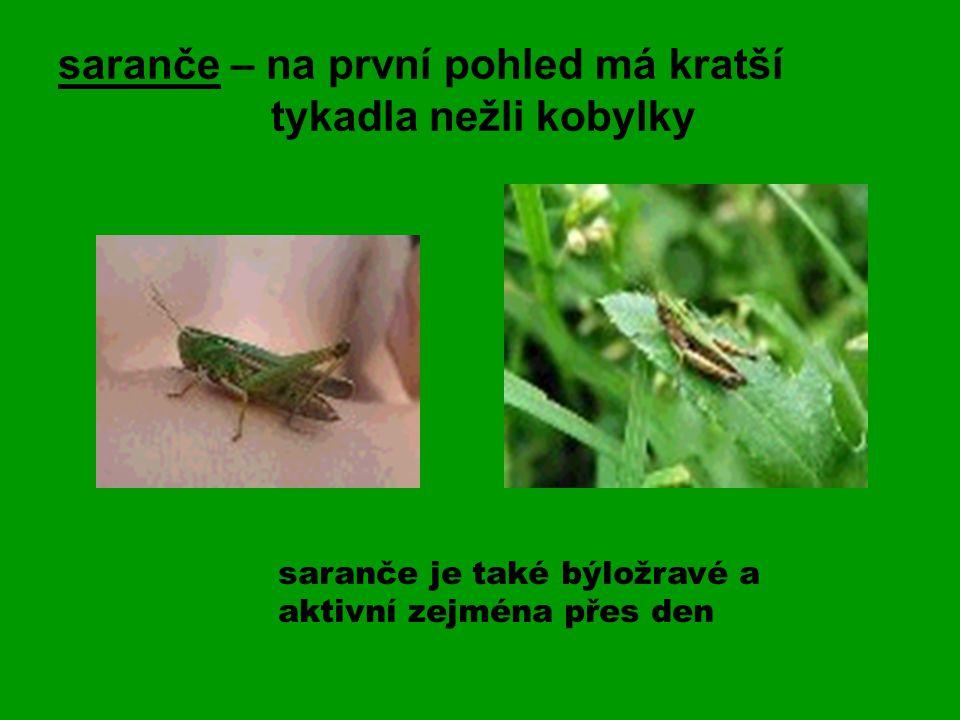 saranče – na první pohled má kratší tykadla nežli kobylky saranče je také býložravé a aktivní zejména přes den