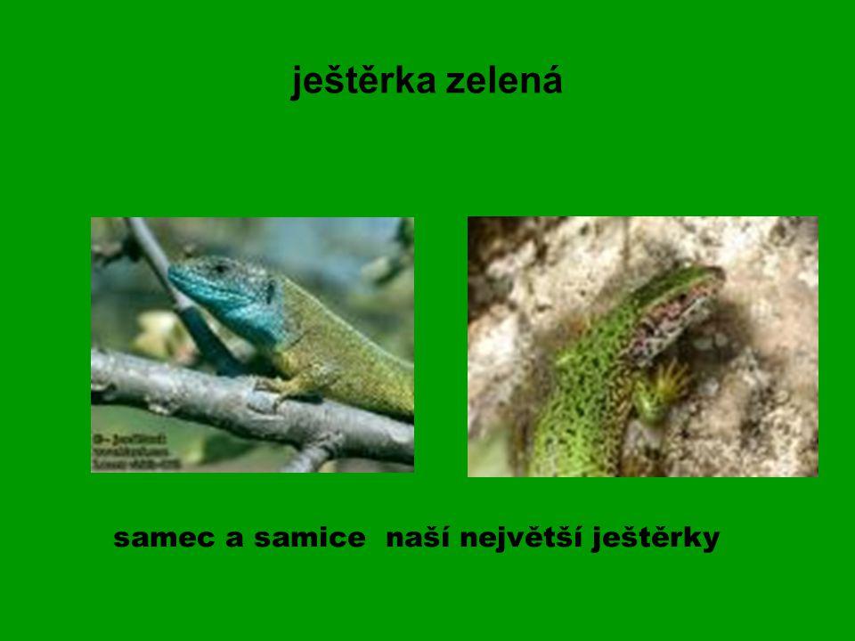 ještěrka zelená samec a samice naší největší ještěrky