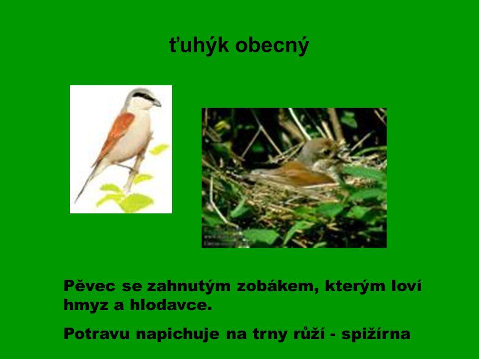 ťuhýk obecný Pěvec se zahnutým zobákem, kterým loví hmyz a hlodavce.