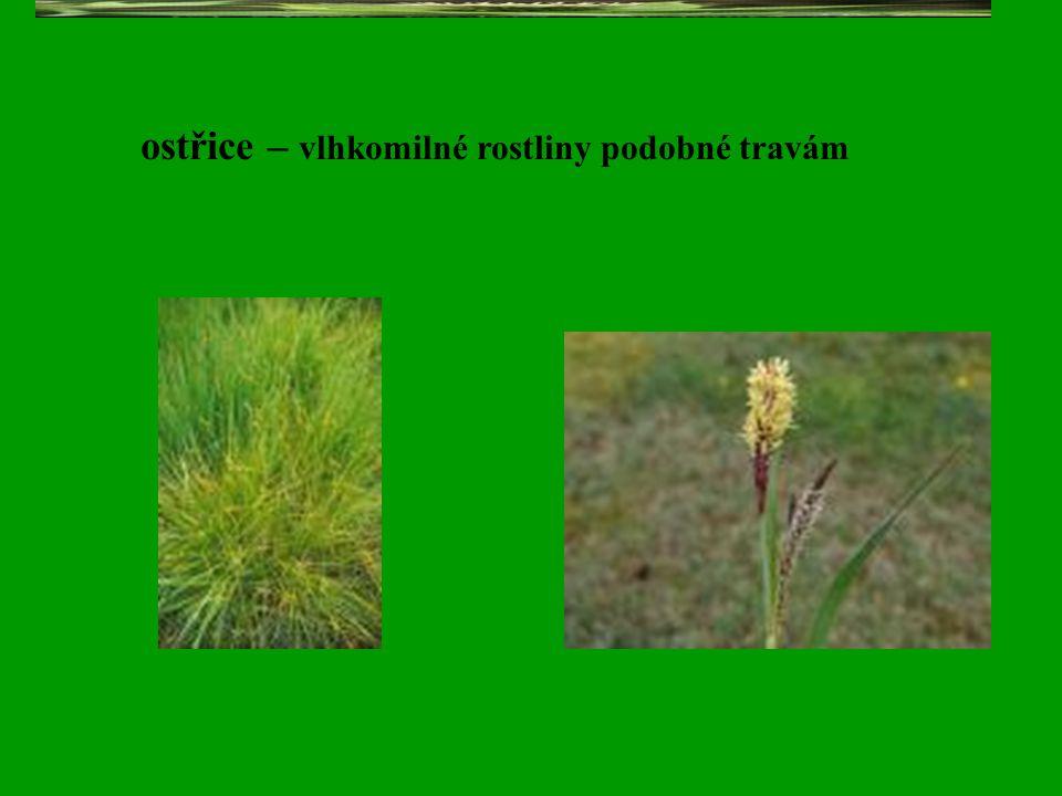 ostřice – vlhkomilné rostliny podobné travám