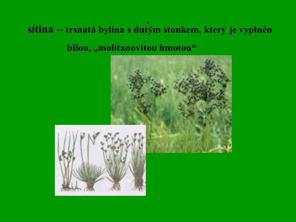 """. sítina – trsnatá bylina s dutým stonkem, který je vyplněn bílou, """"molitanovitou hmotou"""