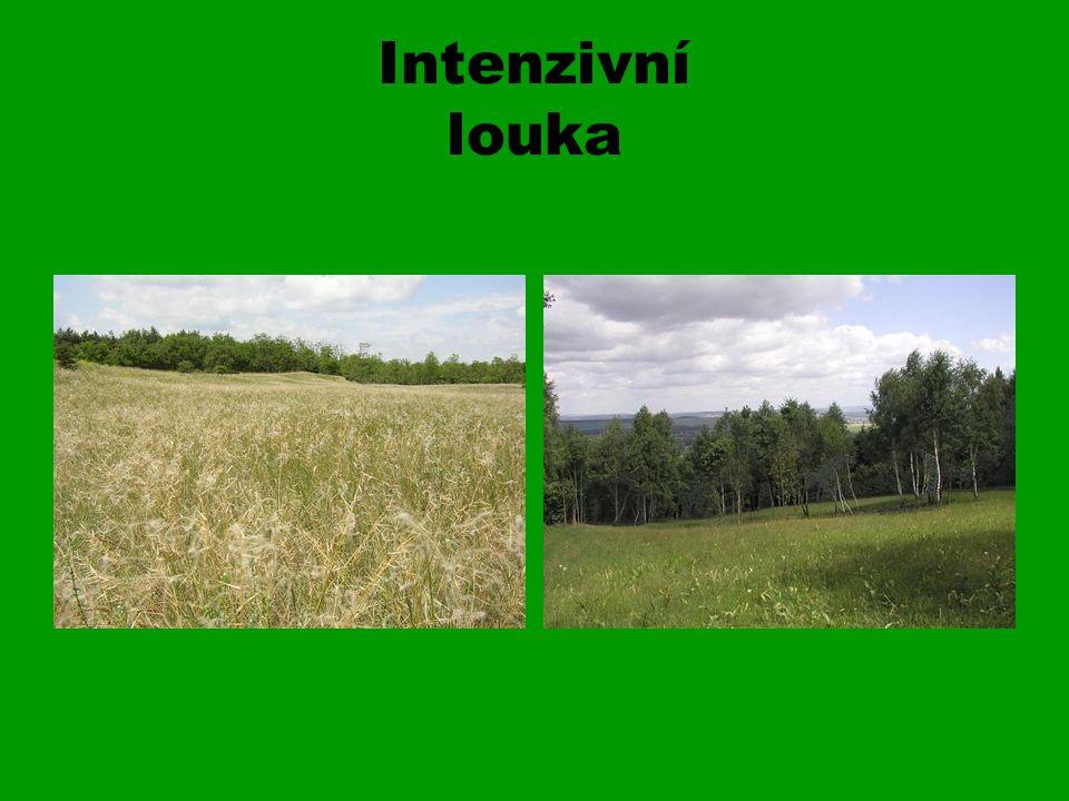 Louka Ekosystém s převahou trav, bylin z čeledi Lipnicovité