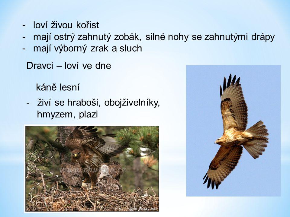 -loví živou kořist -mají ostrý zahnutý zobák, silné nohy se zahnutými drápy -mají výborný zrak a sluch káně lesní Dravci – loví ve dne -živí se hraboš