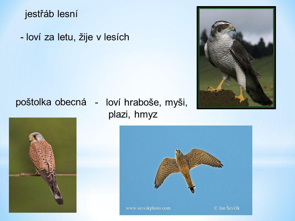 jestřáb lesní - loví za letu, žije v lesích poštolka obecná -loví hraboše, myši, plazi, hmyz