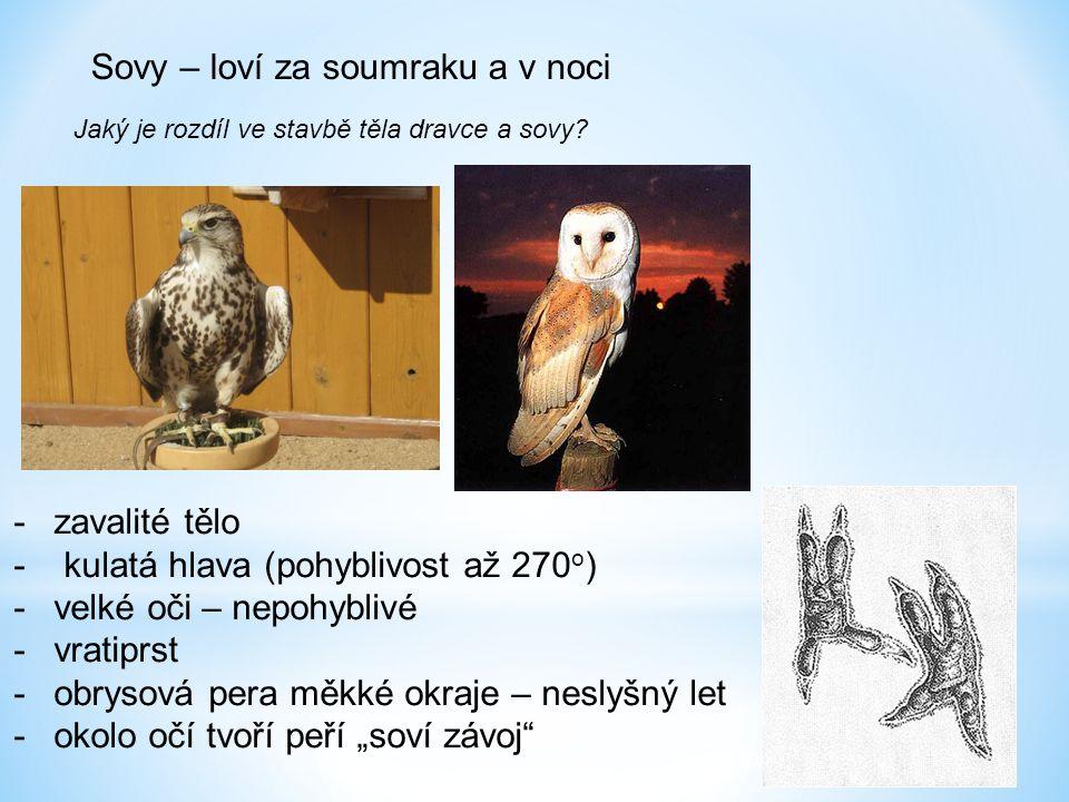 Sovy – loví za soumraku a v noci Jaký je rozdíl ve stavbě těla dravce a sovy? -zavalité tělo - kulatá hlava (pohyblivost až 270 o ) -velké oči – nepoh