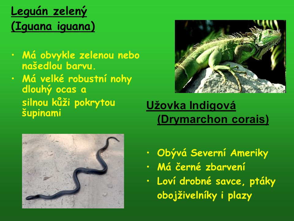 Leguán zelený (Iguana iguana) Má obvykle zelenou nebo našedlou barvu. Má velké robustní nohy dlouhý ocas a silnou kůži pokrytou šupinami Užovka Indigo