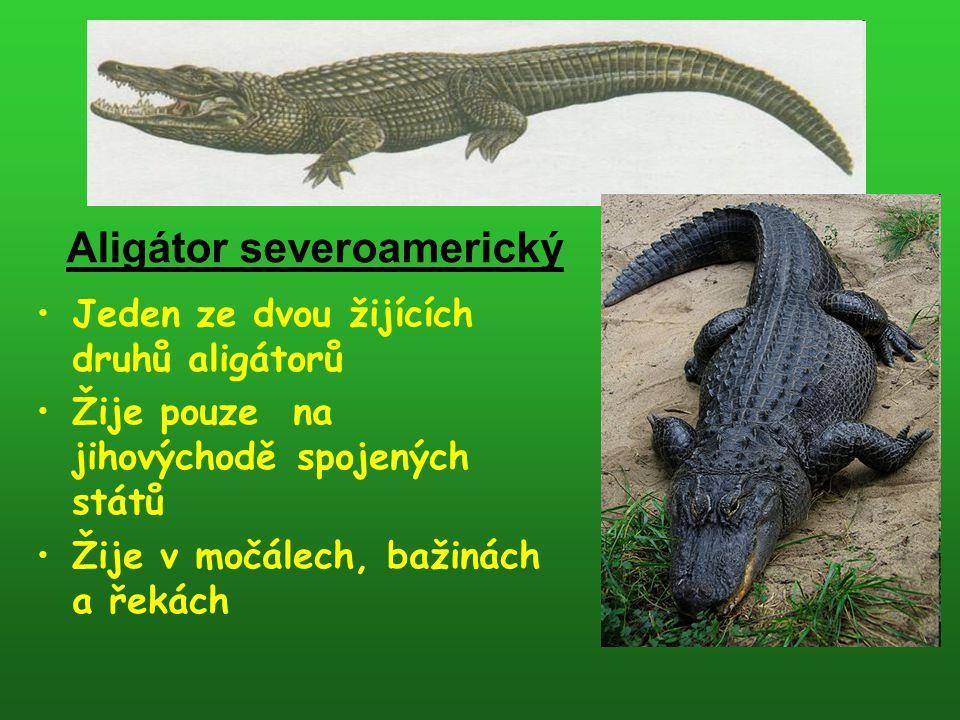Jeden ze dvou žijících druhů aligátorů Žije pouze na jihovýchodě spojených států Žije v močálech, bažinách a řekách Aligátor severoamerický