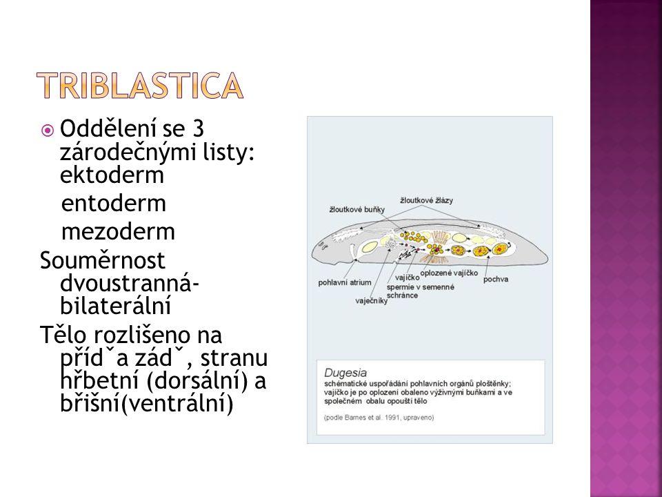 Oddělení se 3 zárodečnými listy: ektoderm entoderm mezoderm Souměrnost dvoustranná- bilaterální Tělo rozlišeno na přídˇa zádˇ, stranu hřbetní (dorsá