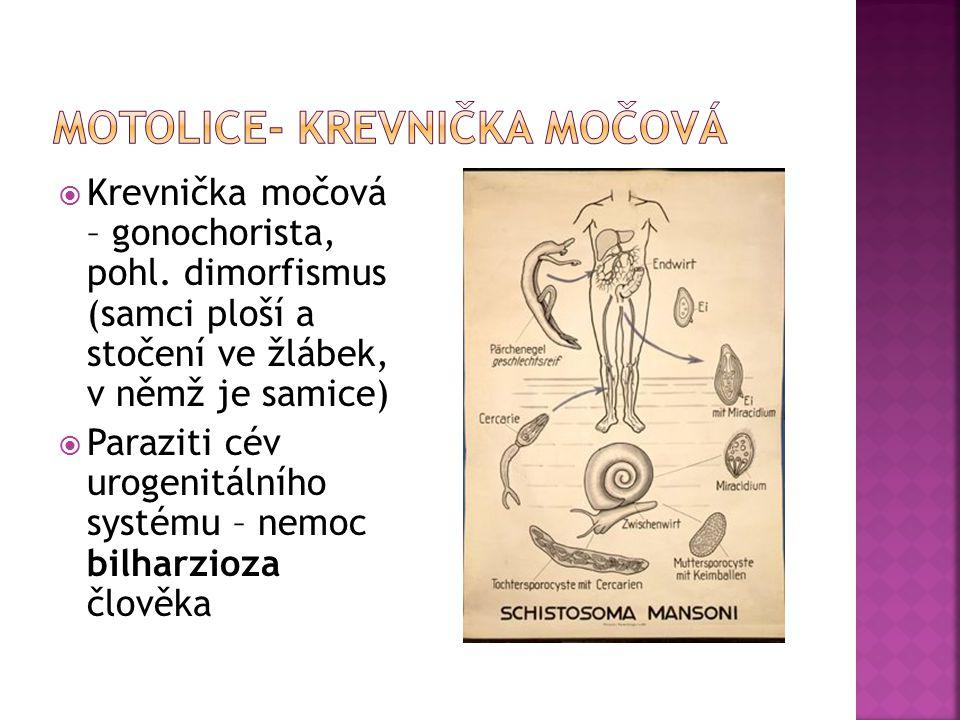  Krevnička močová – gonochorista, pohl. dimorfismus (samci ploší a stočení ve žlábek, v němž je samice)  Paraziti cév urogenitálního systému – nemoc